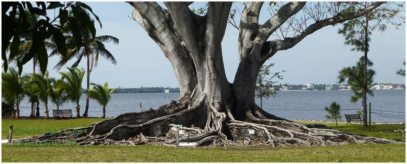 Ficus drupacea, Mysore Fig