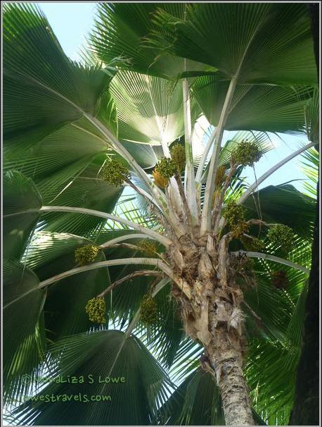 Fiji Fan Palm Tree