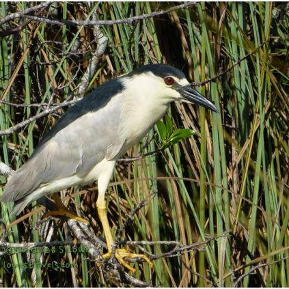 Black Crown Night Heron
