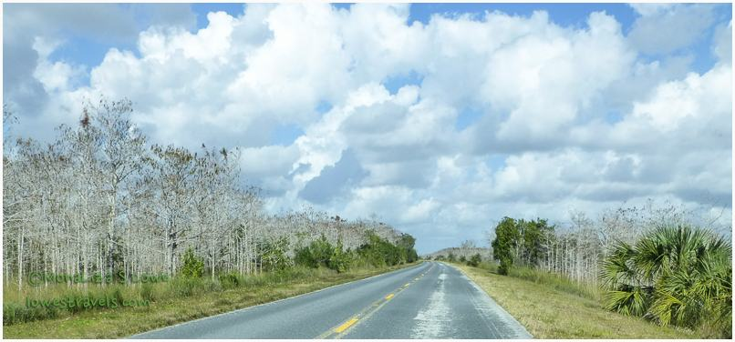 Dwarf Cypress Tress, Everglades