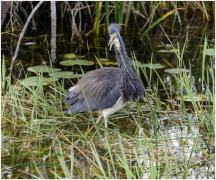 Breeding Little Blue Heron