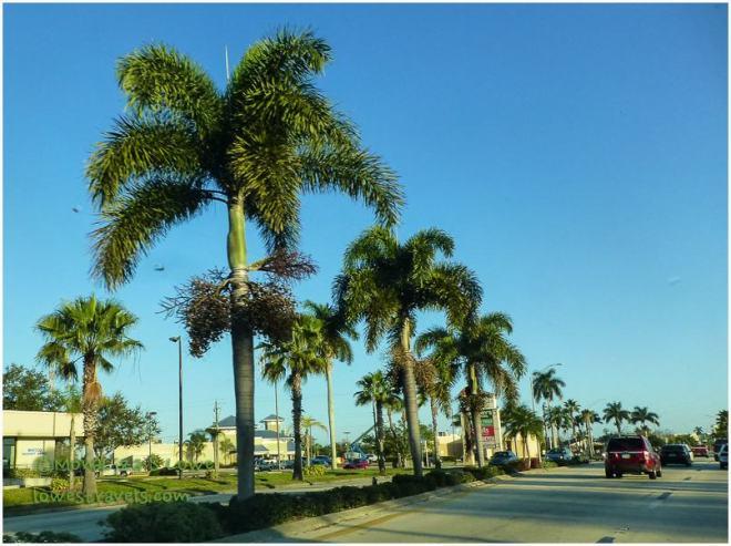 Fox Tail Palm Tree