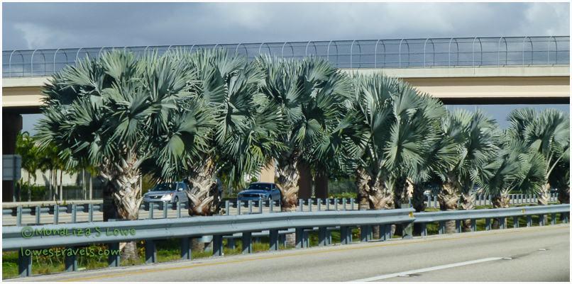 Bizmark Palm Trees