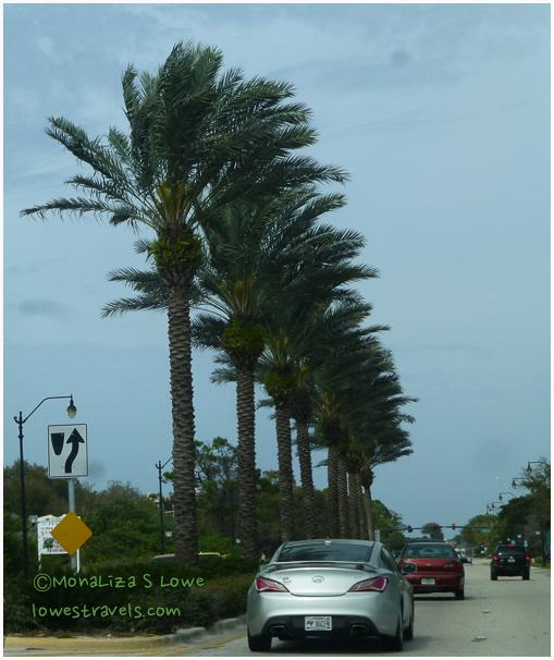 Palm Trees seen in Venice, FL