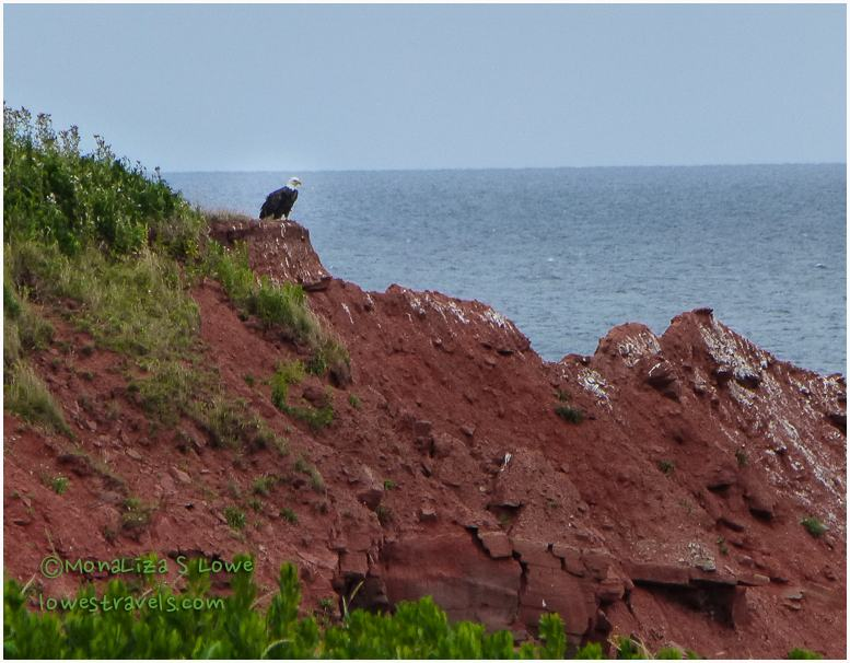 Bald Eagle, PEI
