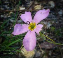 swamp marsh-pink