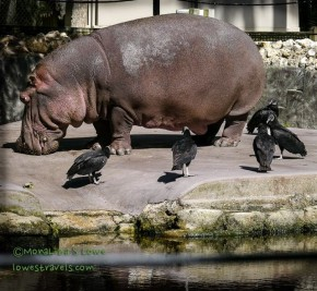 Lucifer, the African Hippo