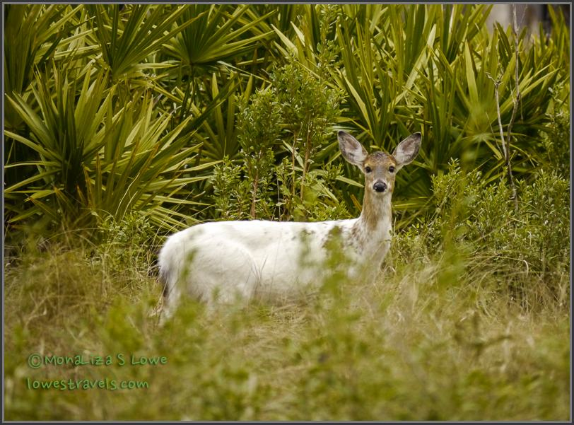 Piebald Deer or White Deer