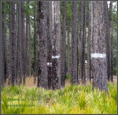 Banded pine trees at Ochlockonee River State Park