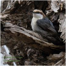 Brown- headed Nuthatch