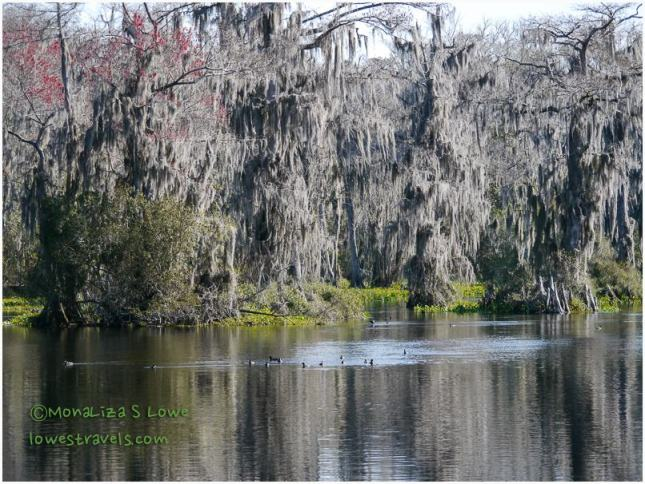 Bald Cypress along Wakulla River