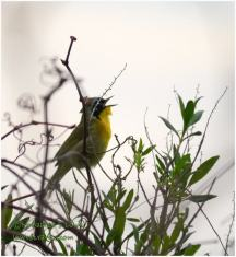 Warbler