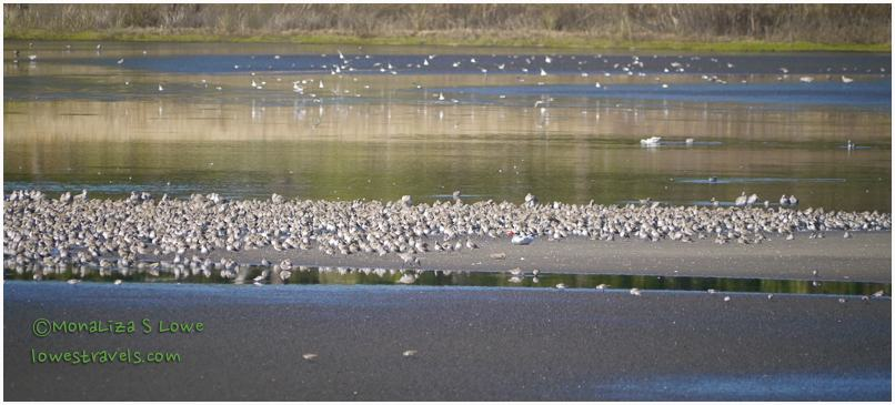 Willets or Plovers