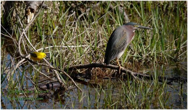 Green Heron and Prothonotary