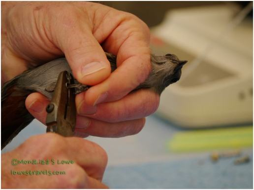 Banding a Bird