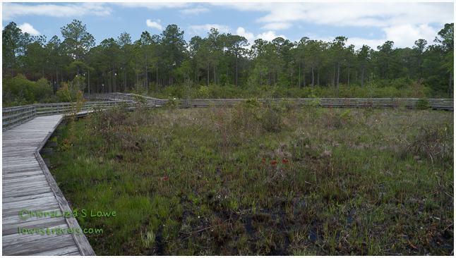 Weeks Bay Pitcher Plant Bog