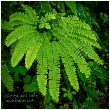Northern Maidenhair-fern
