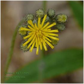 Yellow Wildflower, Smokies