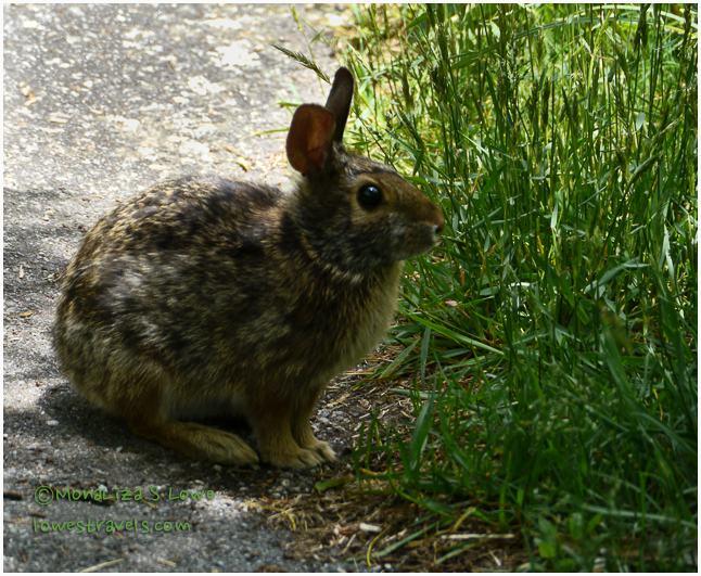 Rabbit at Richard Balsam Mountain