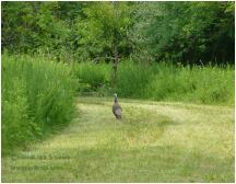 Young wild turkey