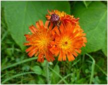 Orange Hawk Weed