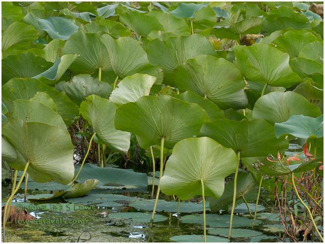 American Lotus leaves