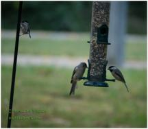 Hungry chickadee and Bushtit