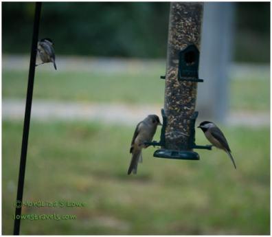 Hungry chickadee and Bushtit