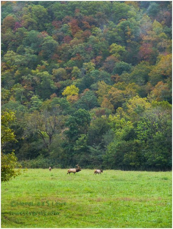 Elk at Boxley Valley, AR