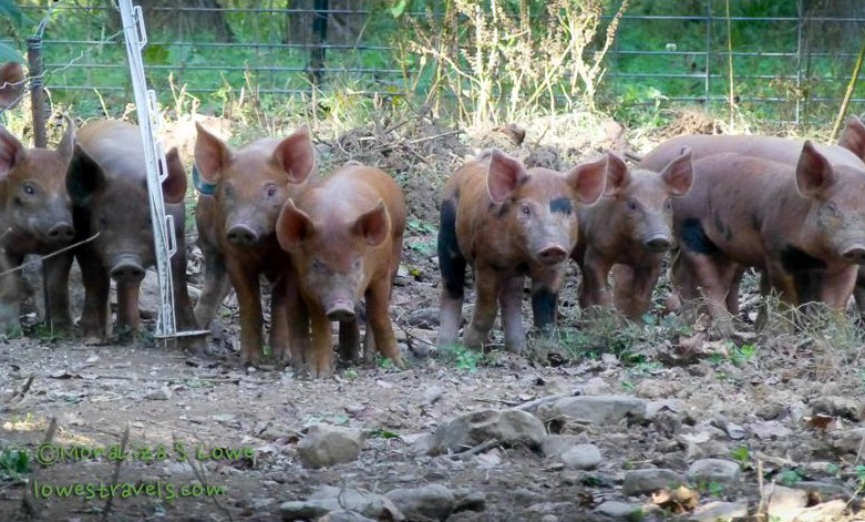 Pastured pigs at Mason Creek Farm