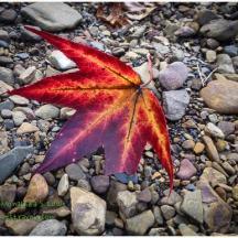Gorgeous Sugar Gum leaf