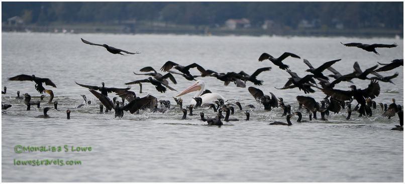 Cormorants and White Pelicans