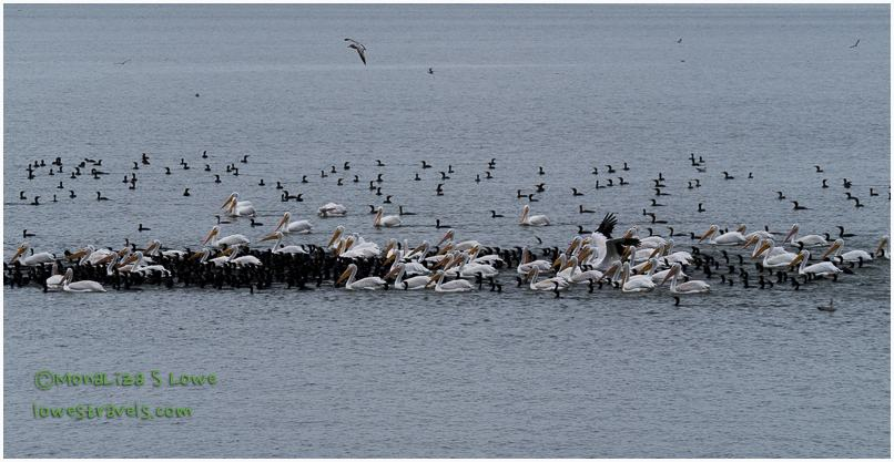 Cormorants and White Pelicans