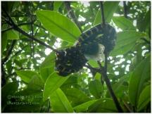 Mangrove Snake taking a nap over the river. When he wakes up he simply drops into the water!