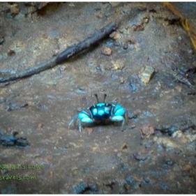 A blue crab...