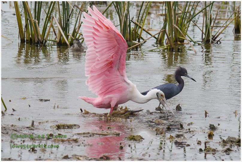 This male Roseate Spoonbill is getting along with the Tricolored Heron.