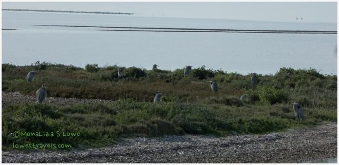 Great Blue Heron Island