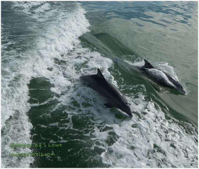 Bull nosed Dolphins