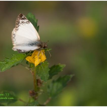 One of the many resting butterflies