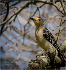 Golden Fronted Woodpecker