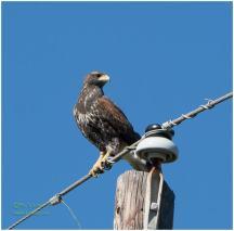 Juvenile Harris Hawk