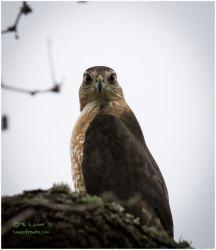 Copper Hawk