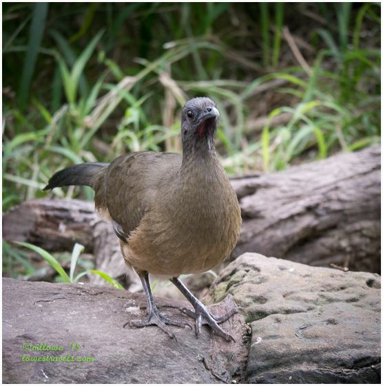 Common Chachalaca