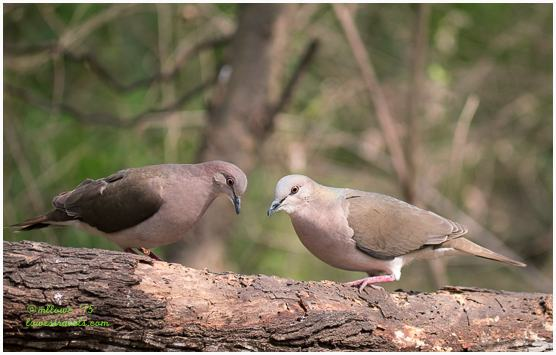 White tipped Dove