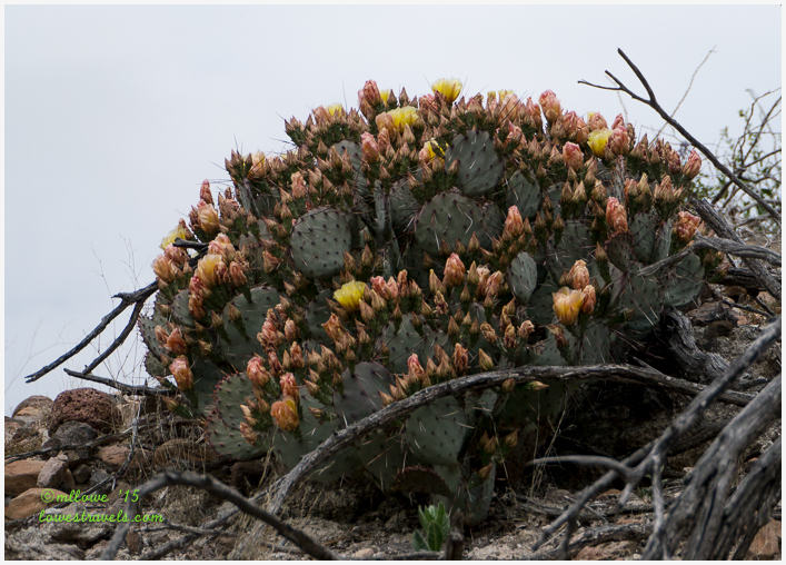 Blooming Prickly Pears