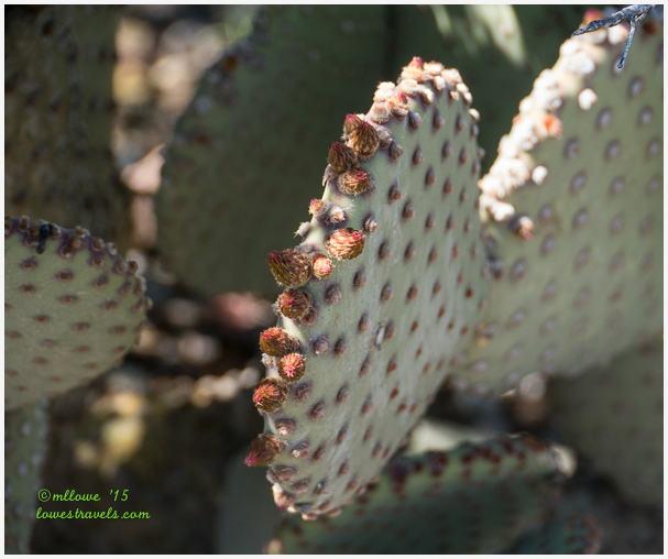 Blind Prickly Pear