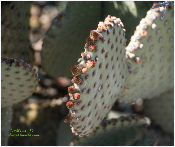 Blind Prickly Pear