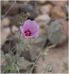 Paleface rose mallow