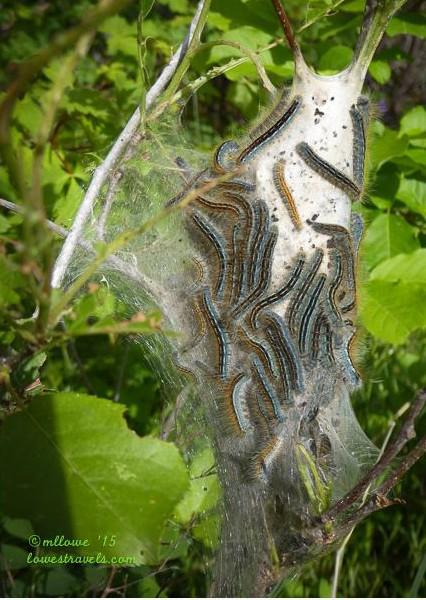 Tent caterpillars