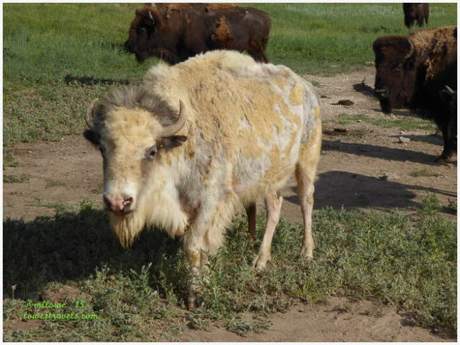 A pigmented Bison
